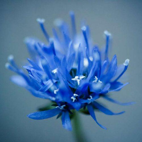 cornflower5